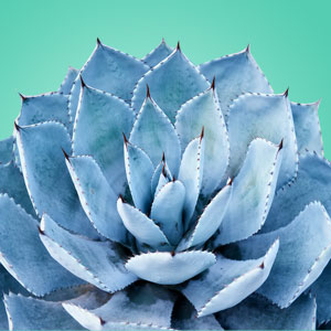 Blue Agave Fragrance Oil