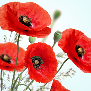 Peppered Poppies Fragrance Oil