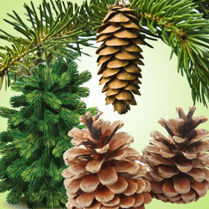 Pine Forest Fragrance Oil