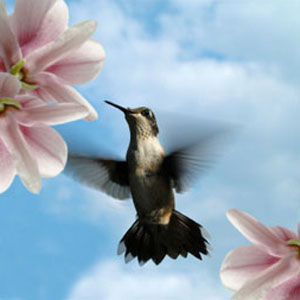 Hummingbird Fragrance Oil