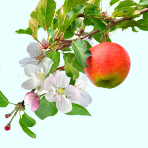 Apple Orchard Fragrance Oil