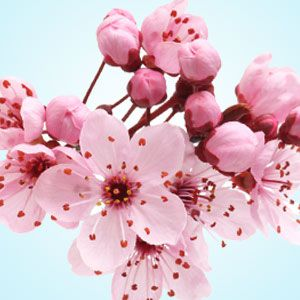 Japanese cherry blossom fragrance oil natures garden scents ifra certificate of compliance mightylinksfo