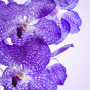 Vanda Orchid Fragrance Oil