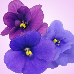 Violet Fragrance Oil