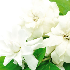White Gardenia Fragrance Oil