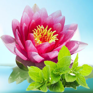 Waterlily Fresh Mint Fragrance Oil Natures Garden Scents